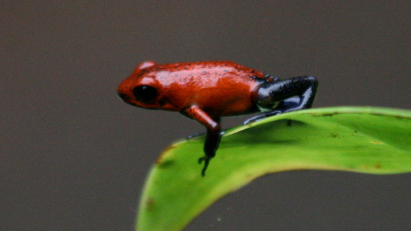 Strawberry Poison Dart Frog from Costa Rica (Photo by David Dodge) (CC BY) (Resized Cropped)