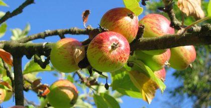 apple tree public domain