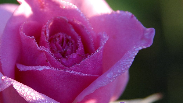pink rose PUBLIC DOMAIN