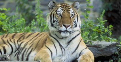 siberian tiger PUBLIC DOMAIN