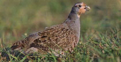 Grey Partridge (Photo by Marek Szczepanek) (GFDL) (Resized/Cropped)