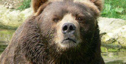 Kodiak Bear PUBLIC DOMAIN