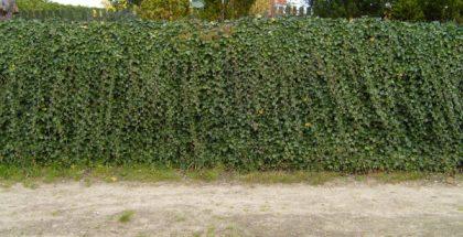 ivy hedge PUBLIC DOMAIN