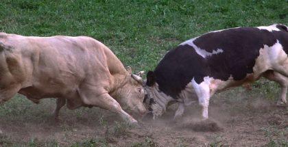 cow fight PUBLIC DOMAIN