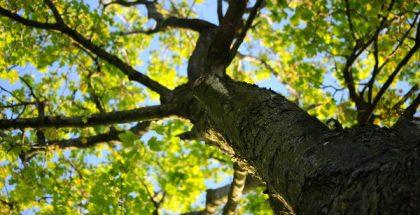 tree PUBLIC DOMAIN